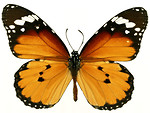 Free Stock Photo: An orange butterfly isolated on a white background