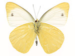 Free Stock Photo: A yellow butterfly isolated on a white background