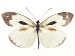 Free Stock Photo: A white and brown butterfly isolated on a white background