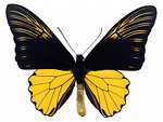 Free Stock Photo: A yellow and black butterfly isolated on a white background