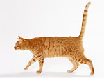 Free Stock Photo: An orange cat isolated on a white background