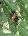 Free Stock Photo: A squash bug on a leaf