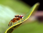 Free Stock Photo: Close-up of a medfly on a leaf