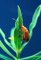 Free Stock Photo: An Aphthona Flava flea beetle feeding on a leaf