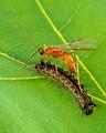 Free Stock Photo: An Aleiodes Indiscretus wasp parasitizing a gypsy moth caterpillar