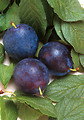 Free Stock Photo: Bluebyrd plums and leaves