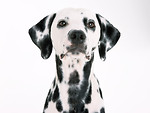 Free Stock Photo: A dalmatian isolated on a white background