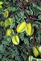 Free Stock Photo: Carambolas growing on a tree