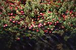 Free Stock Photo: Cranberry Bog