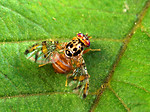Free Stock Photo: A male medfly on a leaf