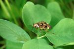 Free Stock Photo: A tarnished plant bug, Lygus lineolaris, on a clover