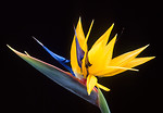 Free Stock Photo: Flower of bird-of-paradise