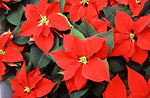 Free Stock Photo: Red poinsettia flowers