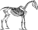 Free Stock Photo: Illustration of a horse skeleton