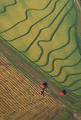 Free Stock Photo: Aerial view of rice harvesting on a farm