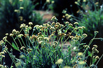 Free Stock Photo: Guayule plants