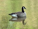 Free Stock Photo: A Canadian goose swimming on the water