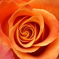 Free Stock Photo: Close-up of an orange rose