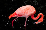 Free Stock Photo: A red flamingo in dark water