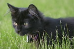 Free Stock Photo: A young black kitten in the grass