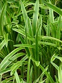 Free Stock Photo: Close-up of tall green leaves
