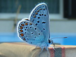 Free Stock Photo: Close-up of a blue butterfly