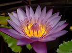 Free Stock Photo: Close-up of a purple lotus flower