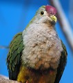 Free Stock Photo: Close-up of a fruit dove