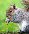 Free Stock Photo: An eastern gray squirrel eating a peanut