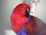 Free Stock Photo: A red and blue eclectus parrot