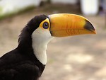 Free Stock Photo: Close-up of a toucan bird
