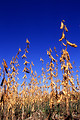 Free Stock Photo: Soybeans ready for harvest