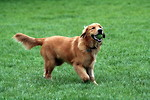 Free Stock Photo: A Golden Retriever fetching a tennis ball