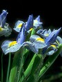Free Stock Photo: Close-up of blue flowers isolated on a black background