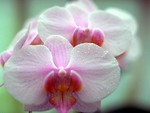 Free Stock Photo: Close-up of pink orchids