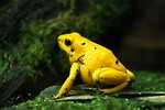 Free Stock Photo: Close-up of a yellow frog