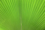 Free Stock Photo: Close-up of a large green tropical leaf