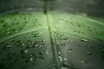 Free Stock Photo: Close-up of a large dark green tropical leaf with water drops