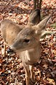 Free Stock Photo: Close-up of a doe in the woods