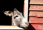 Free Stock Photo: A donkey sticking its head through a barn window
