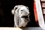Free Stock Photo: A donkey sticking its head through a barn window