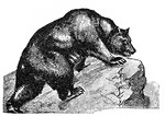 Free Stock Photo: Vintage illustration of a grizzly bear