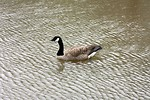 Free Stock Photo: A Canadian goose swimming on a lake
