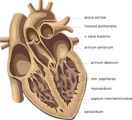Free Stock Photo: Medical illustration of a human heart