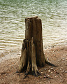 Free Stock Photo: A tree stump on the shore of a lake