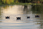 Free Stock Photo: Four hippopotamuses in the water