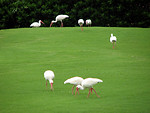 Free Stock Photo: A group of ibises in green grass