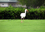 Free Stock Photo: An American White Ibis walking in green grass