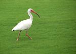 Free Stock Photo: An American White Ibis walking in green grass