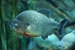 Free Stock Photo: Close-up of a piranha